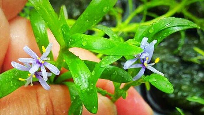Heteranthera zosterifolia fiore