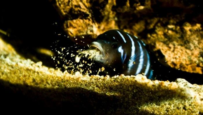 Pseudotropheus Demasoni in acquario