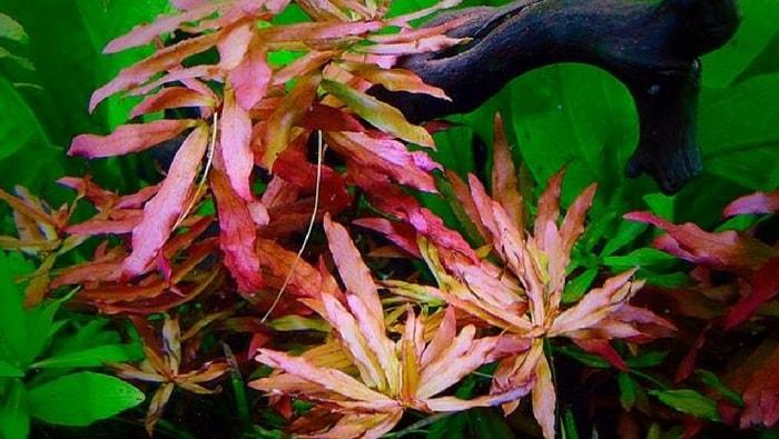 Nesaea crassicaulis in acquario