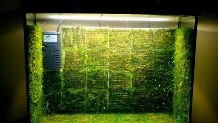 java moss wall