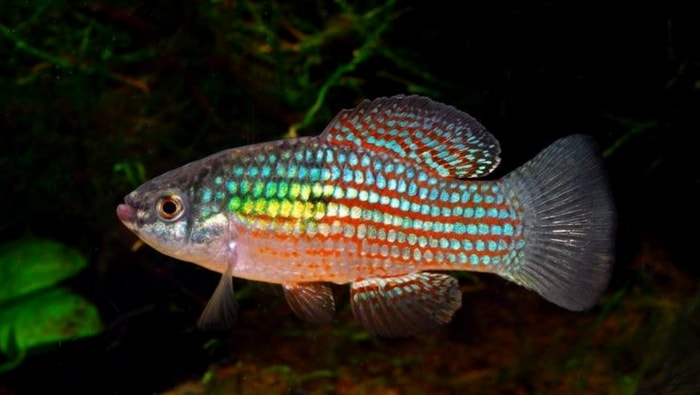 pesce bandiera americana - Jordanella floridae