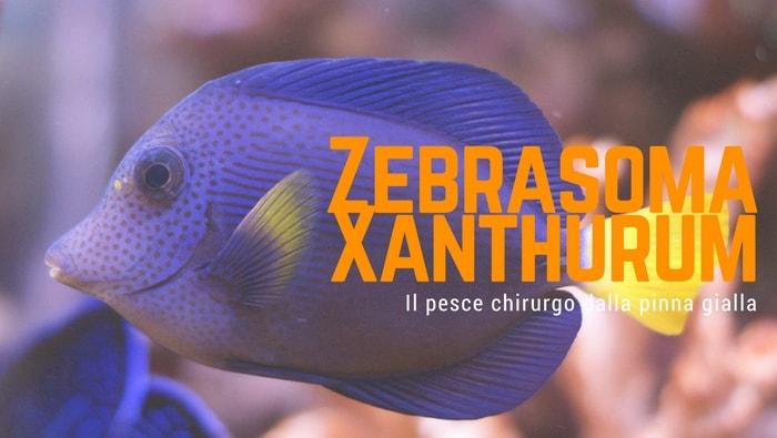 pesce chirurgo - zebrasoma xanthurum