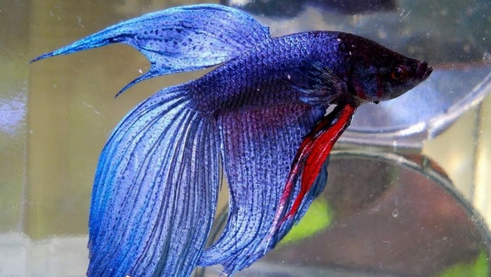 Betta Splendens Veiltail