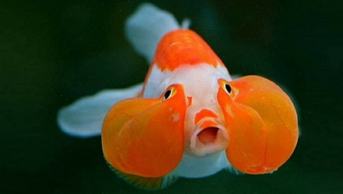 Bubble Eyes goldfish