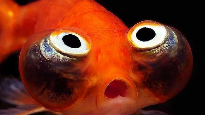 Celestial eye goldfish