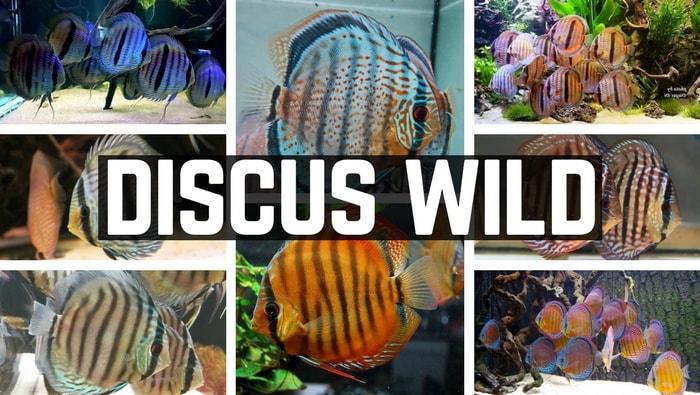 Discus Wild