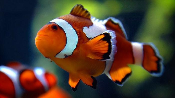 Guida ai tipi di pesce pagliaccio
