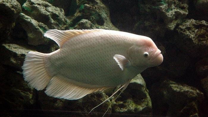 Osphronemus goramy in acquario