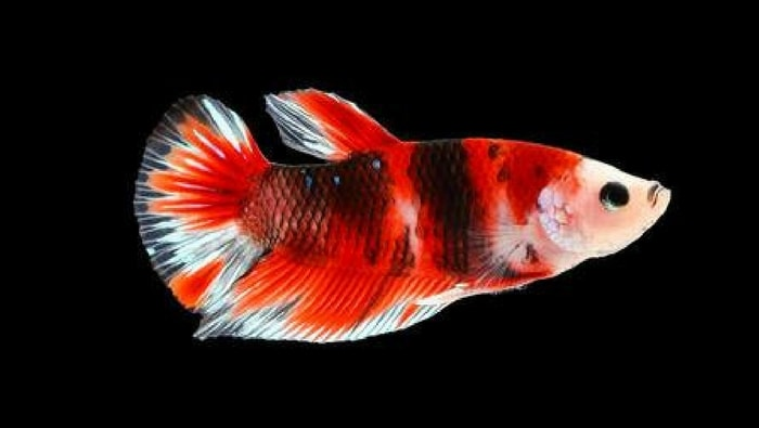 betta splendens Plakat - Short Fin