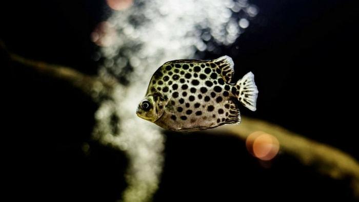 Scatophagus argus anche detto Argus Fish
