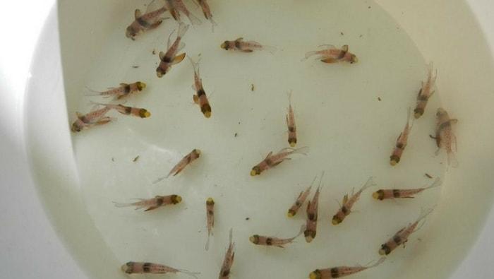 Sphaeramia nematoptera giovani