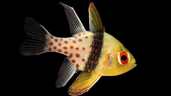 Sphaeramia nematoptera - pesce cardinale pigiama