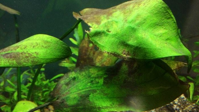diatomee - alghe brune