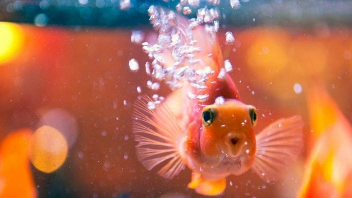 scarsa ossigenazione in acquario