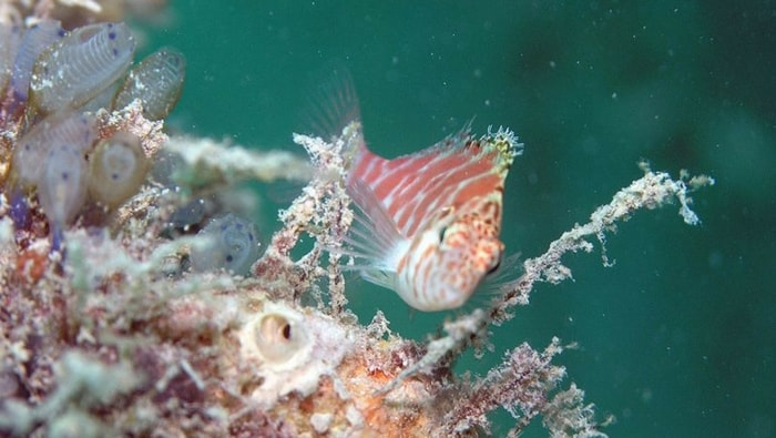 Cirrhitichthys falco - pesce falco
