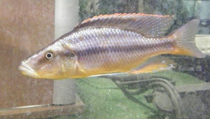 Dimidiochromis compressiceps femmina