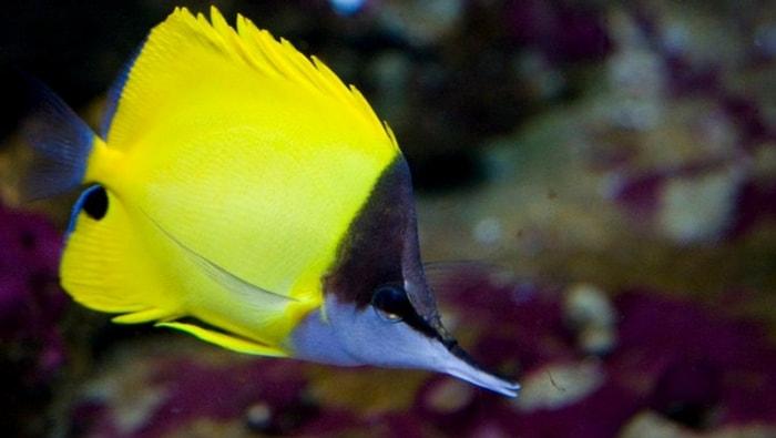 Forcipiger flavissimus - pesce farfalla