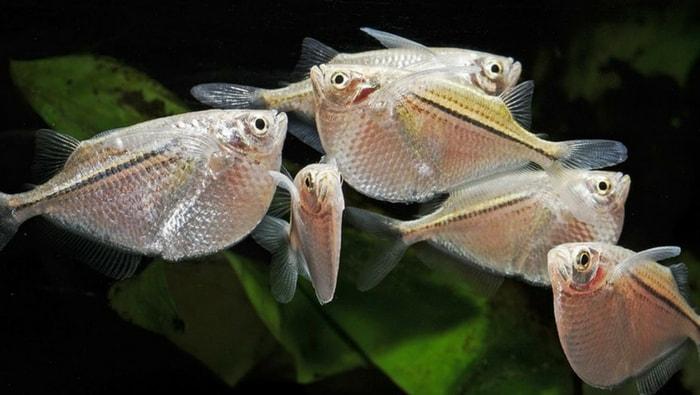 Gasteropelecus sternicla in branco