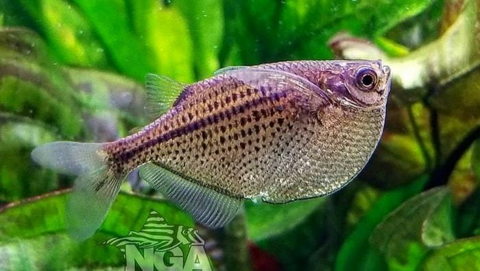 Gasteropelecus sternicla - pesce accetta