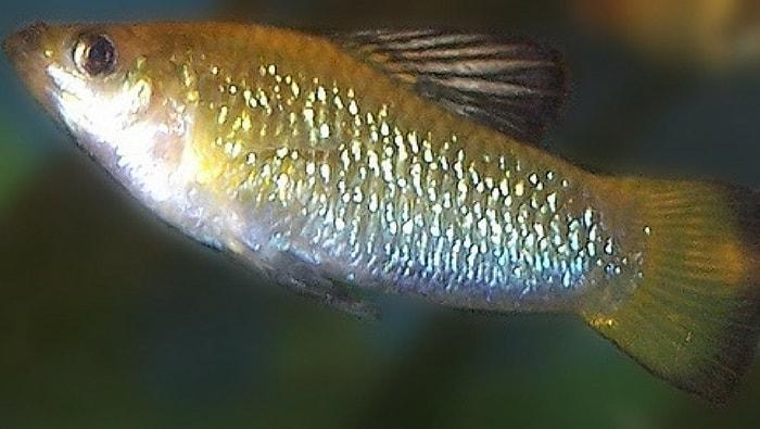 Limia caymanesis