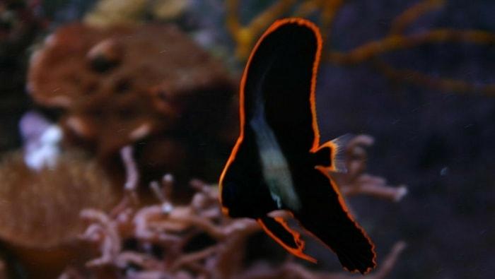 Platax pinnatus in scogliera