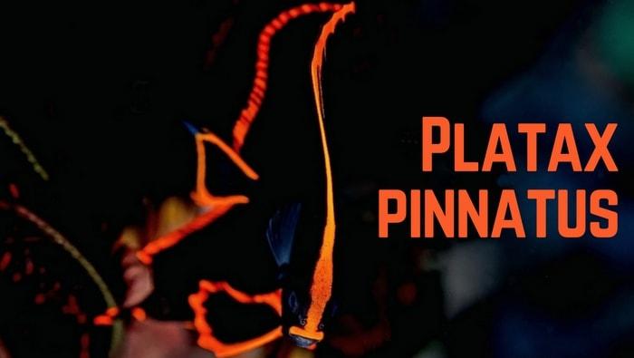 Platax pinnatus il pesce pipistrello adatto a pochi - Contorno immagine di pipistrello ...