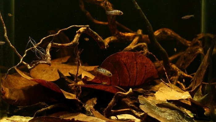 foglie di catappa in acquario amazzonico