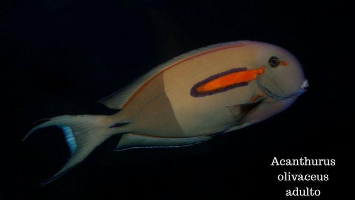 Acanthurus olivaceus adulto
