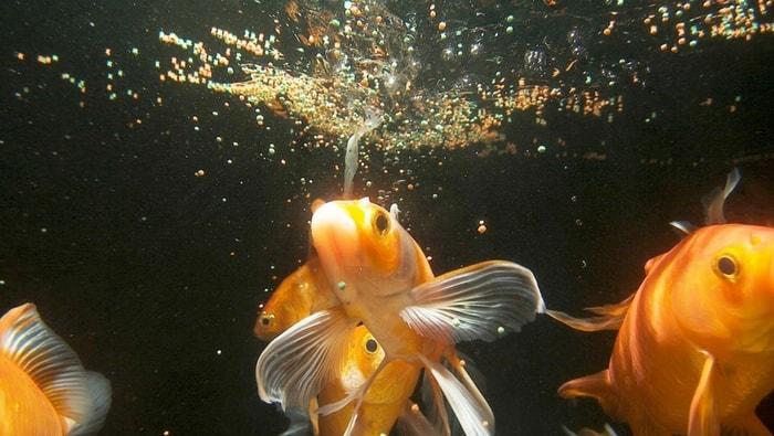 sovralimentazione dei pesci