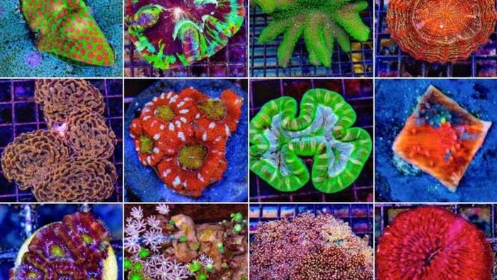 taleare i coralli strumenti