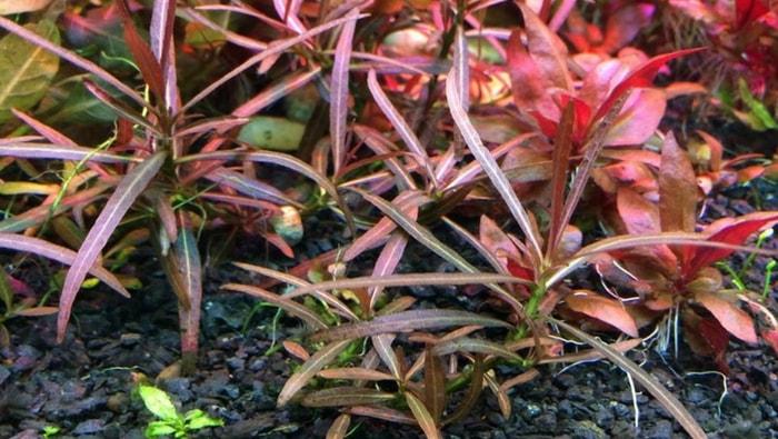 Hygrophila Araguaia