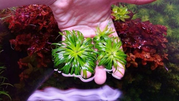 Syngonanthus macrocaulon potatura