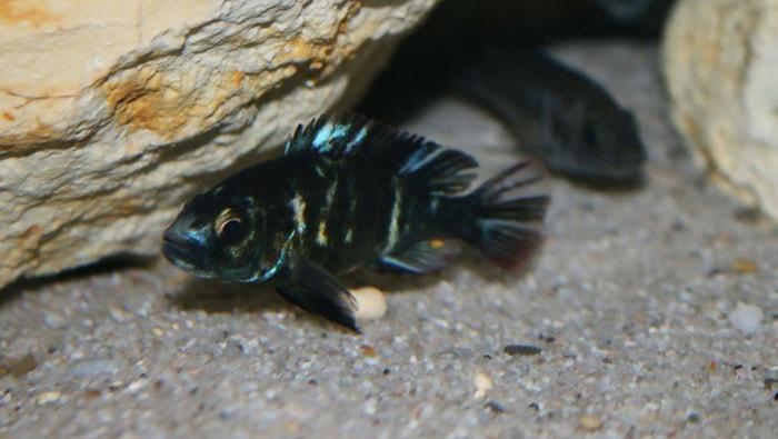 Lipochromis