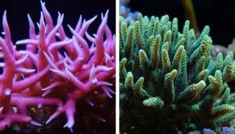 Coralli SPS belli e facili? Seriatopora hystrix e Seriatopora caliendrum