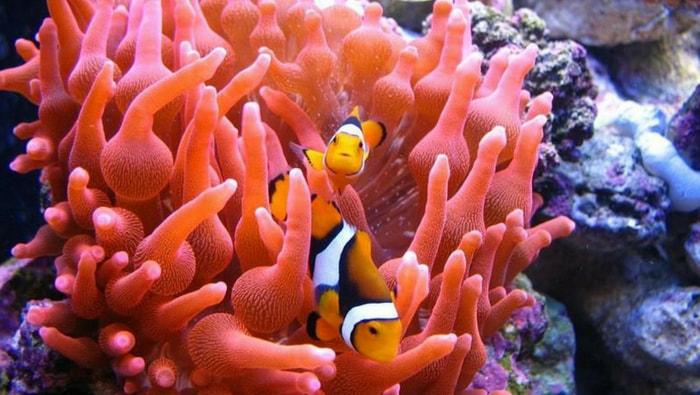 anemoni a bolle con pesci pagliaccio