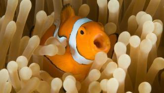 La relazione simbiotica tra pesce pagliaccio e anemone