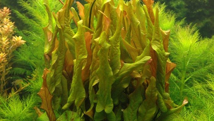 Barclaya longifolia verde