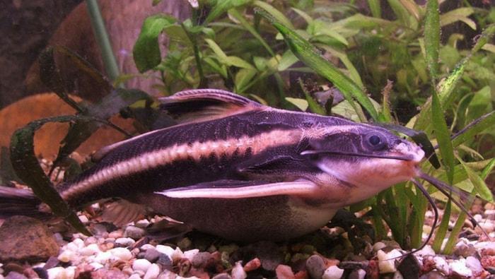Platydoras Armatulus, un pesce corazzato adatto ai neofiti
