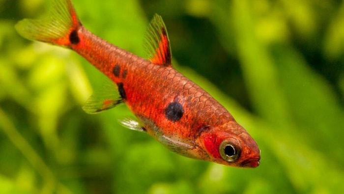Rasbora Boraras maculatus