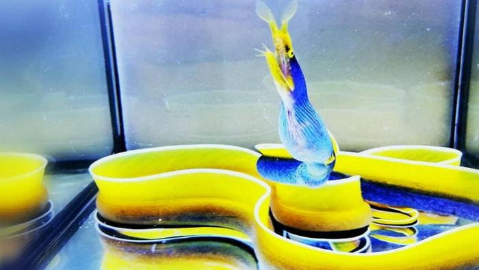 Rhinomuraena quaesita in acquario
