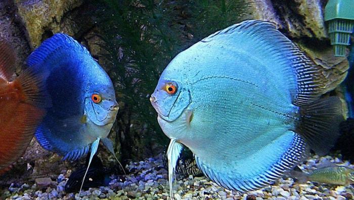 Aggressività nei Discus in acquario: ecco come ridurla