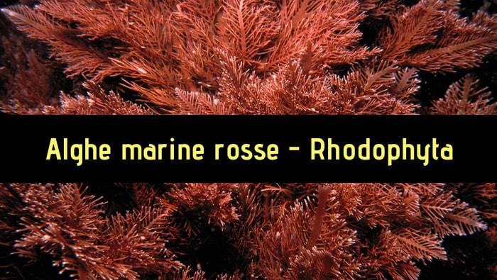 alghe marine rosse - Rhodophyta