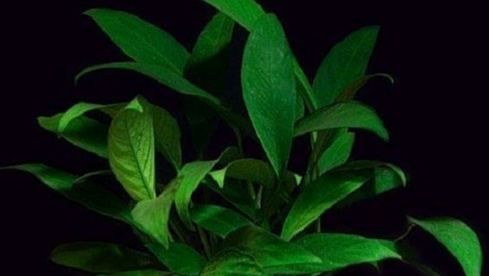 Anubias Longifolia