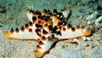 Protoreaster nodosus: la stella marina cornuta in acquario