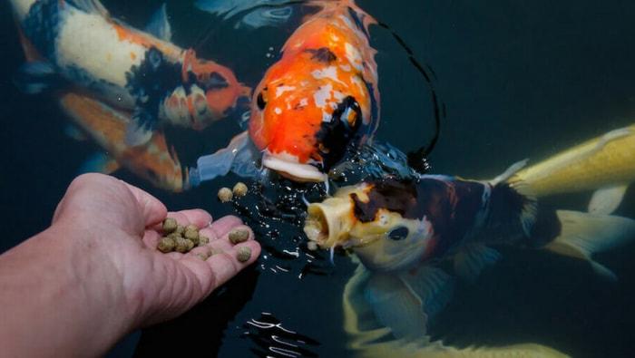 cibo secco per pesci