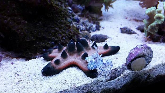 gamberetto arlecchino nella stella marina cornuta