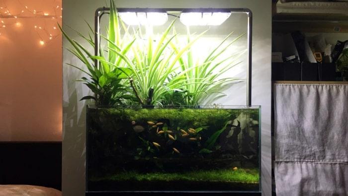 Coltivazione emersa delle piante in acquario