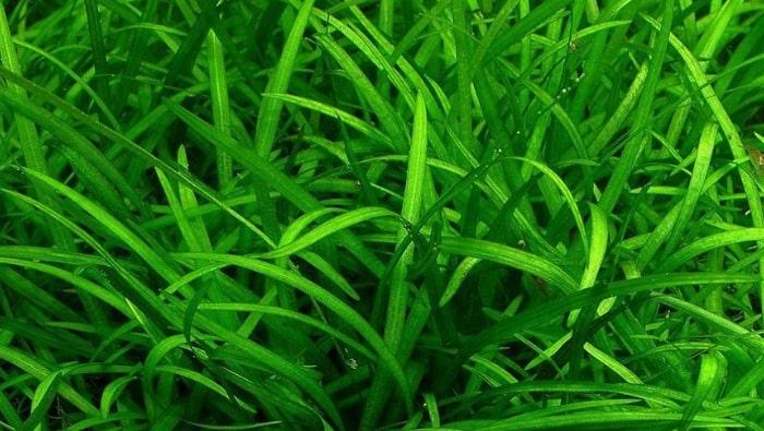 Sagittaria subulata acquario