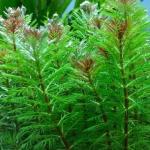 Myriophyllum aquaticum: una pianta da fondo che richiede attenzione
