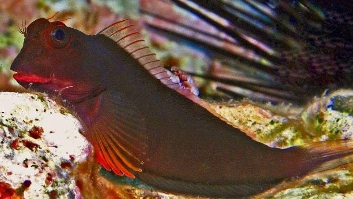 Ophioblennius atlanticus